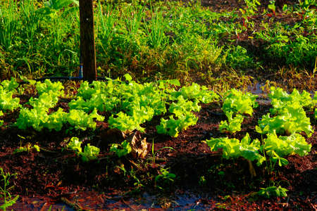 Vegetable garden irrigation - Farm of lettuce and beetroot in brazil Stock fotó