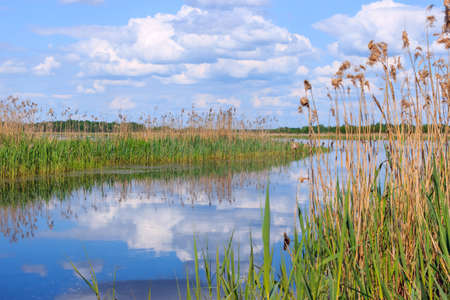 water grass: Summer landscape with reflection in the water grass growing on the banks of a small river on a sunny day.