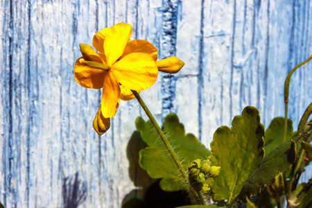 Celandine yellow  inflorescence. On a blue background. Close-up.