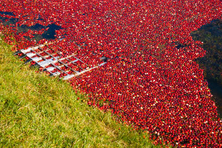 Cranberries floating on top of the water in a cranberry bog before they are harvested. Banco de Imagens