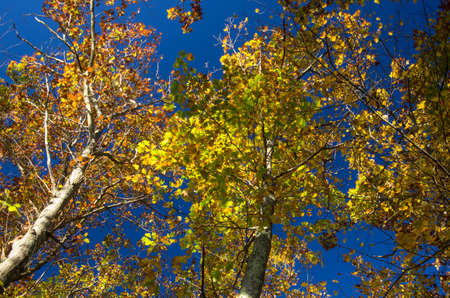 yellows: Blue sky shows through the yellows leaves of autumn foliage in the Stony Brook Wildlife Sanctuary, Norfolk MA.