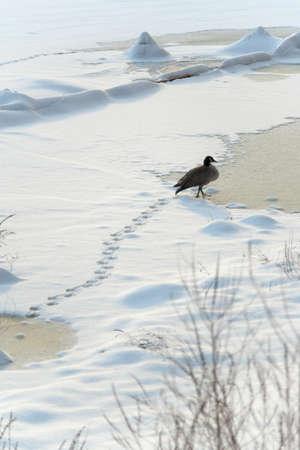 vogelspuren: Ein Kanadagans Spaziergänge durch Schnee auf einem zugefrorenen Fluss in Boston, MA.