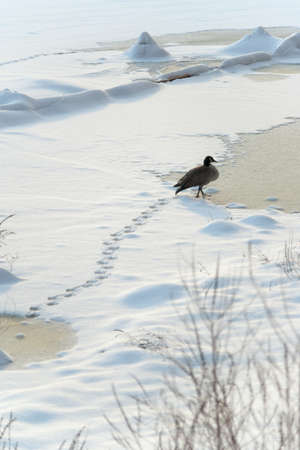 A Canada Goose walks through snow on a frozen river in Boston, MA.