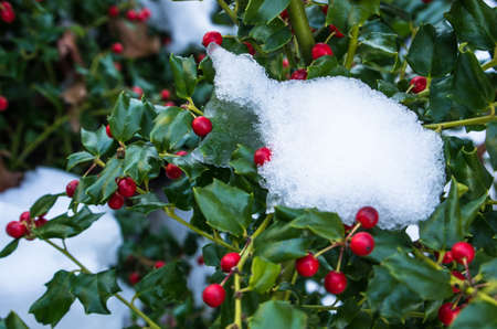 Snow on a holly bush with berries