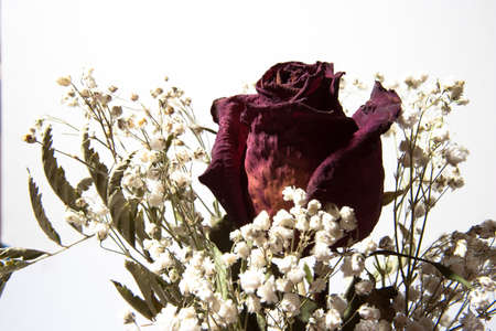A single, dried rose arranged with baby's breath on a white background.
