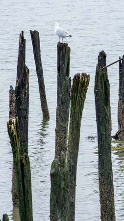 A seagull rests on on of several old pilings from an old dock. Foto de archivo