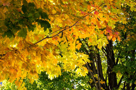 Leaves turn rich golds and yellows on maple trees in New England