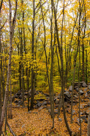 approaches: The leaves on trees in a forest in New England turn yellow and gold as autumn approaches.