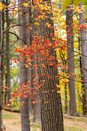 A vine wraps around a tree as its leave turn for fall.