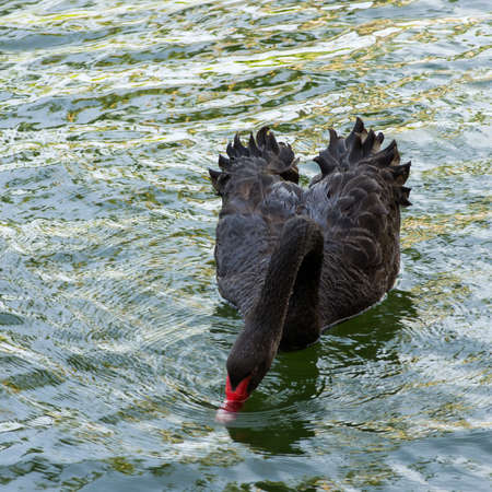 A black swan takes a drink of water.