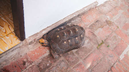 Aldabra giant tortoise walking around the street