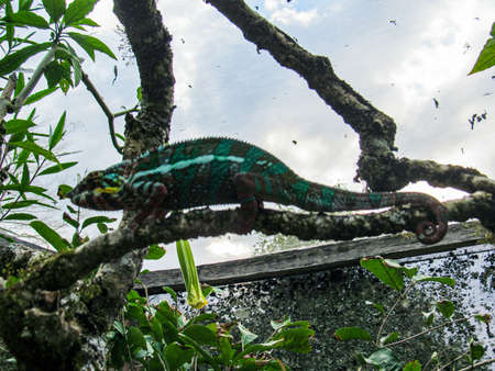 Madagascar endemic panther green chameleon at jungle Lokobe Reserve, Nosy Be in Madagascar