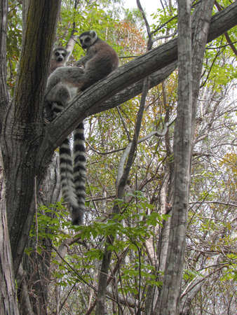 Ring-tailed lemur sitting on between tree branches at rainforest in Madagascar