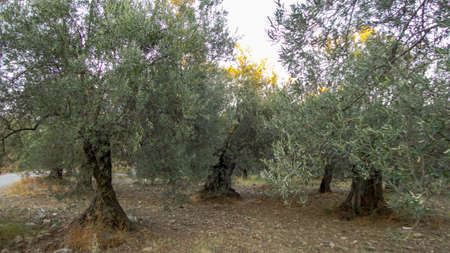Olive tree with old textured trunk. Old olive trees with intertwined. Traditional plantation of olive trees in Turkey