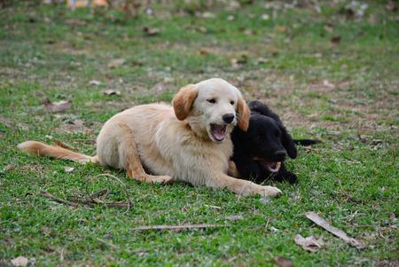 romp: Golden Retriever Puppy Cute romp