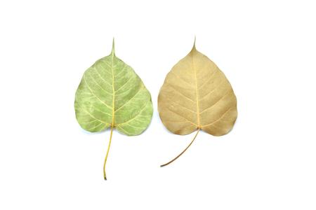 dry leaf: green and dry bo leaf on white