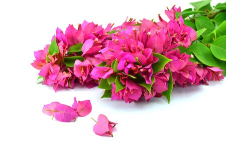 bougainvilleas: Pink bougainvilleas on white background isolated