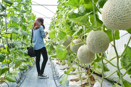 Green fresh melon in farm organic from Thailand