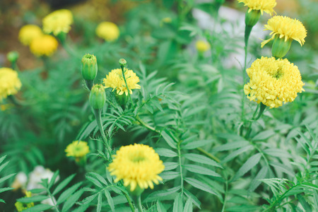 Marigold on plant Stock Photo - 73493090