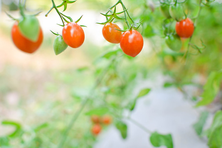 Fresh red tomatoes on plant in farm
