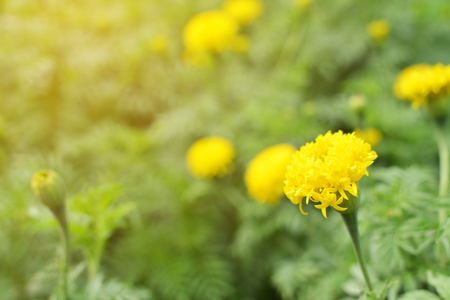 Marigold on plant in farm, Hipster tone Stock Photo