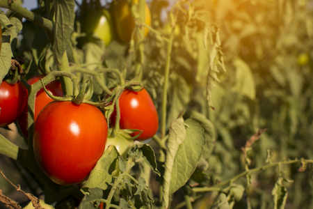Group of red tomatoes on plant in garden Reklamní fotografie