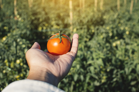 Female hand holding fresh tomato in garden background Reklamní fotografie