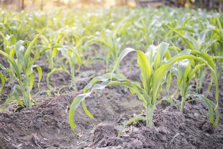 Green corn plants on the garden