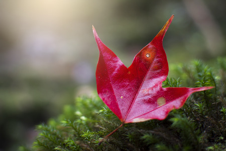 beautiful maple leaf in forest at Phu Kradueng National Park, Loei , Thailand