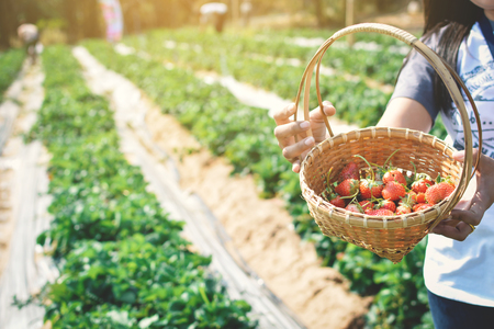 Woman holding fresh strawberry on basket in garden