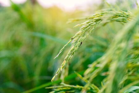 Close up ripe rice in the field.