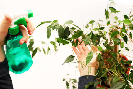Ficus benjamin. Care for ficus at home Stock Photo