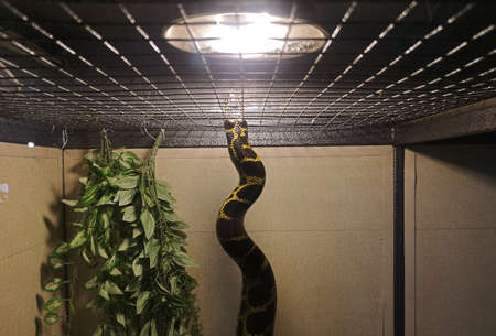 Anaconda in captivity: transportation of a python in a box, a cage, poaching. Snake in the zoo Stockfoto