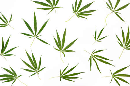 Wild marijuana isolated on a light background. Cannabis ruderalis or ruderalis. Plant ornaments on a blue, green and white background. Texture, pattern, place for signature
