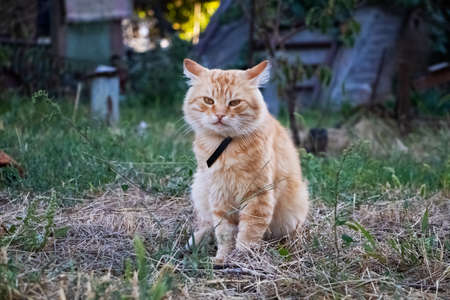 Sad cat sits on the grass and looks down. There are no people in the frame next to the animal. The concept of abandoned animals, loneliness and longing Stock fotó - 155434408