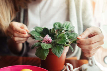 A woman takes care of home flowers. Watering and pruning violet. Home gardening and plant care concept