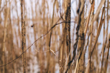 Reed texture closeup. Blurred background and reed stalks create a creative concept. There are red spots on the stems and the flowering of reeds is visible Stockfoto