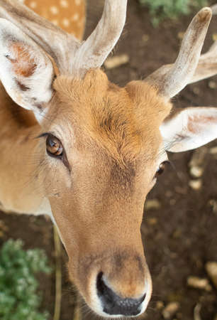 Close-up of a deer at the petting zoo. Feeding the animal with goodies. Tamed and domesticated wild artiodactyla. Young and fluffy horns. The animal's eyes look from behind the cage.