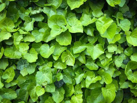 Horizontal close up wld poison green ivy wall texture pattern wallpaper plant background Banco de Imagens