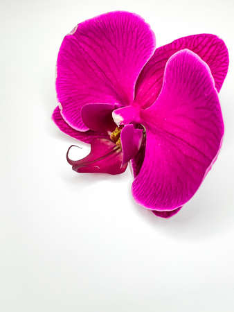 close up purple single Phalaenopsis orchid flower postcard on a white background. Vertical image