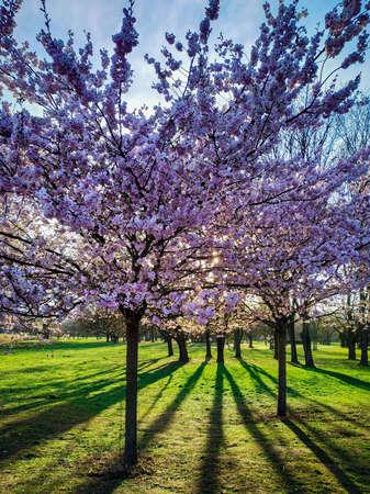 Vollblühende rosa Sakura-Bäume, Kirschblüte im Park an einem sonnigen Tag. Vertikales Bild