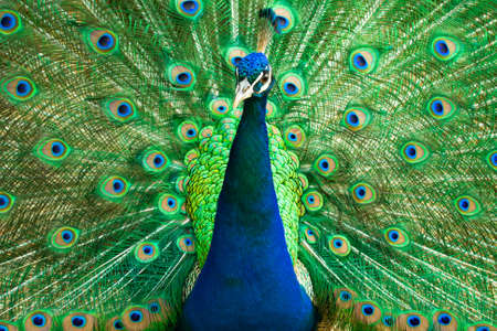 Portrait of a beautiful Indian male peacock bird showing his colorful feather tail. Stock image. Stock Photo