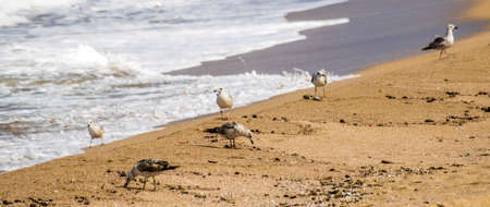 A flock of seagulls looking for food at a beach in Haifa, Israel Stock Photo