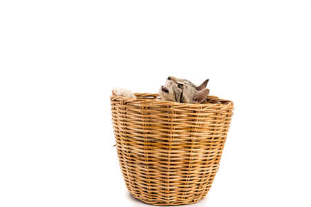 cat in basket,look outside,isolated white background