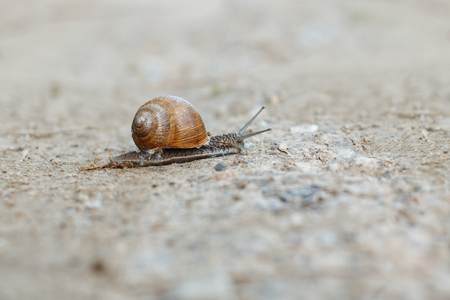 grape snail: Snail crawling on the sand.