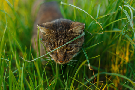 Beautiful striped cat with green eyes hunt in the grass in the park.