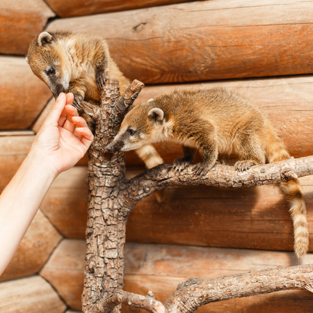 Two Nasua on a wooden branch on a wooden background look at the hand. Stock Photo