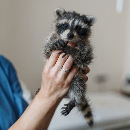 Funny young raccoon in the hands of a veterinarian 스톡 콘텐츠