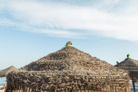 Exotic green parrot sits with bread in its beak on the roof of a straw umbrella on the beach on a background a blue sky with clouds. Wild rare bird in a natural habitat. Sunny day. Spain. Stock Photo