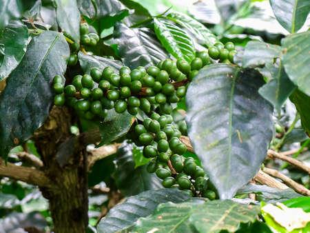 arbol de cafe: grano de café verde, árbol de café con granos